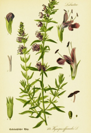 Image result for hyssop